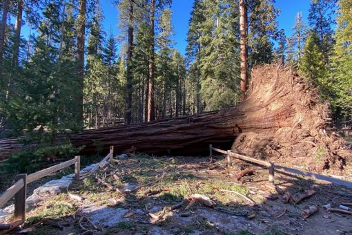 'Mono wind event' topples over a dozen sequoias at Yosemite National Park